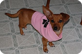 Dachshund/Chihuahua Mix Dog for adoption in Marlton, New Jersey - Velvet