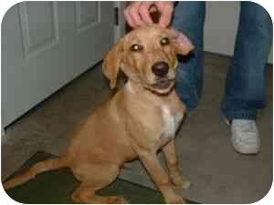 Labrador Retriever/Collie Mix Puppy for adoption in Aledo, Illinois - yo-yo