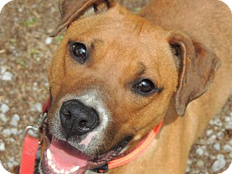 Boxer Mix Puppy for adoption in Allentown, Pennsylvania - Stevie URGENT  REDUCED