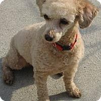 Adopt A Pet :: Sandy - Dover, MA