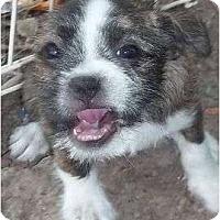 Adopt A Pet :: Thysena - Plainfield, CT