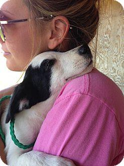 Labrador Retriever/Spaniel (Unknown Type) Mix Puppy for adoption in Pewaukee, Wisconsin - Zoey - beautiful, smart & lovi