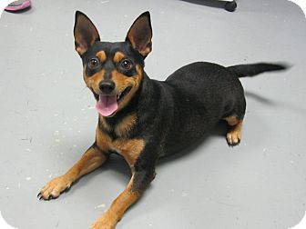 Miniature Pinscher/Chihuahua Mix Dog for adoption in Manning, South Carolina - Otis