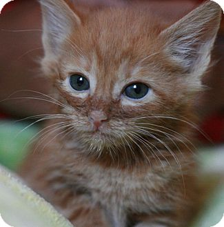 Domestic Shorthair Kitten for adoption in Canoga Park, California - Giovanni