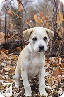 Border Collie/Boxer Mix Puppy for adoption in Baltimore, Maryland - Henry
