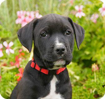 German Shepherd Dog/Labrador Retriever Mix Puppy for adoption in Thousand Oaks, California - Toby von Tasha
