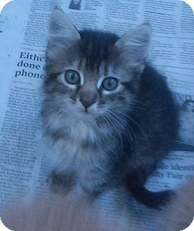 Domestic Mediumhair Kitten for adoption in Kirby, Texas - Latte