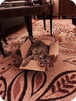 Domestic Shorthair Kitten for adoption in Bulverde, Texas - Piglet