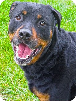 Rottweiler Mix Dog for adoption in Troy, Michigan - Dash