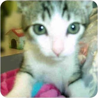 Domestic Shorthair Kitten for adoption in San Clemente, California - MIA