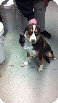 Australian Cattle Dog/Labrador Retriever Mix Dog for adoption in Detroit Lakes, Minnesota - Astrid