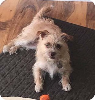Terrier (Unknown Type, Small) Mix Dog for adoption in Mission Viejo, California - WINNIE