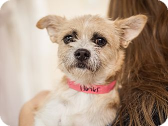 Cairn Terrier Mix Dog for adoption in Dallas, Texas - Elaine