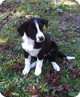Labrador Retriever/Border Collie Mix Puppy for adoption in SOUTHINGTON, Connecticut - Taylor