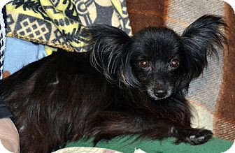 Papillon Dog for adoption in Melrose, Florida - Sara Marie