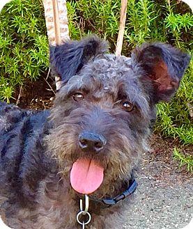 Schnauzer (Miniature) Mix Dog for adoption in pasadena, California - BENNY