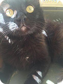Domestic Longhair Cat for adoption in San Antonio, Texas - Po