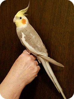 Cockatiel for adoption in St. Louis, Missouri - Beamer & Bentley
