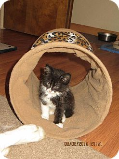 Domestic Shorthair Kitten for adoption in Vacaville, California - Ariel