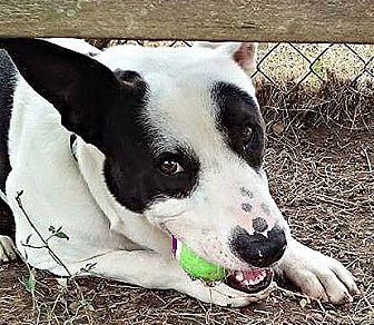 Cattle Dog Mix Dog for adoption in St Louis, Missouri - Jameson