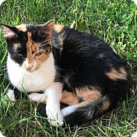 Adopt A Pet :: *Courtesy Post* Calico - Covington, KY