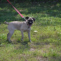 Adopt A Pet :: Piper - Lebanon, MO
