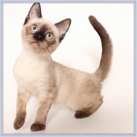 Adopt A Pet :: Taloola Meowhead - Glendale, AZ