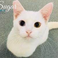 Adopt A Pet :: Sugar - Belle Chasse, LA