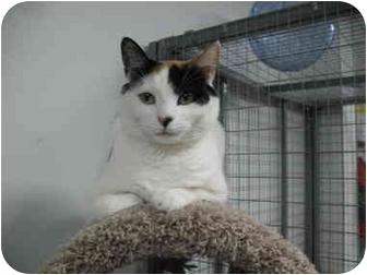 Calico Cat for adoption in Houston, Texas - Kiki