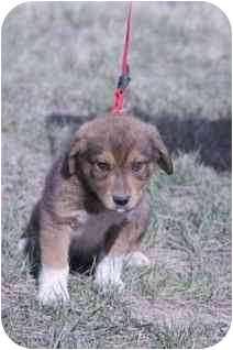 Border Terrier/Shepherd (Unknown Type) Mix Puppy for adoption in Broomfield, Colorado - Cary Grant