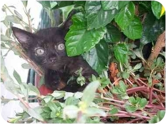 Domestic Shorthair Kitten for adoption in Haughton, Louisiana - Stacey's kittens