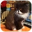 Photo 3 - Persian Cat for adoption in Beverly Hills, California - Picasso