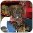 Photo 1 - American Pit Bull Terrier Mix Puppy for adoption in Detroit, Michigan - Moe-Pending