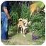 Photo 3 - Jindo/Akita Mix Dog for adoption in Southern California, California - Sugar