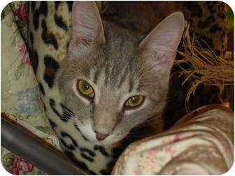 Domestic Shorthair Cat for adoption in Chesapeake, Virginia - Popper