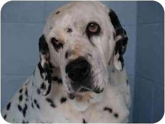 Dalmatian Mix Dog for adoption in El Cajon, California - Spot