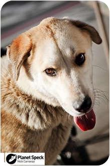 Golden Retriever/Husky Mix Dog for adoption in Los Angeles, California - Debo