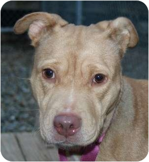 American Staffordshire Terrier/Terrier (Unknown Type, Medium) Mix Dog for adoption in Berea, Ohio - Gucci