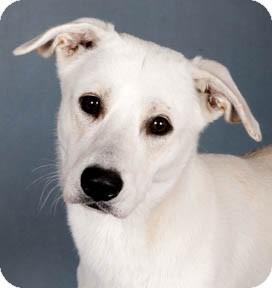 Labrador Retriever/Shepherd (Unknown Type) Mix Dog for adoption in Chicago, Illinois - Percy