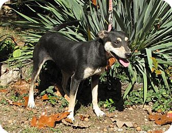 Manchester Terrier Mix Dog for adoption in Oakland, Arkansas - Roxi