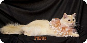 Siamese Kitten for adoption in Kerrville, Texas - Fuego