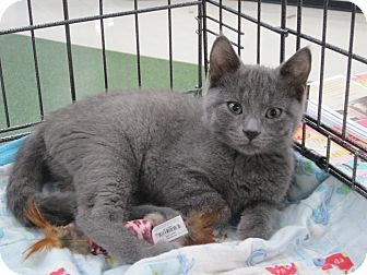 Russian Blue Kitten for adoption in Chesterfield Township, Michigan - Sophia