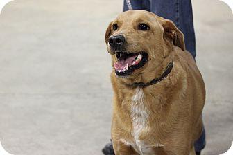 Labrador Retriever/Golden Retriever Mix Dog for adoption in Boonsboro, Maryland - Ralph