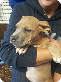 American Pit Bull Terrier Mix Puppy for adoption in Yelm, Washington - Luna