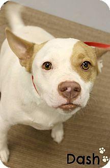 Australian Shepherd Mix Dog for adoption in Scottsdale, Arizona - Dash