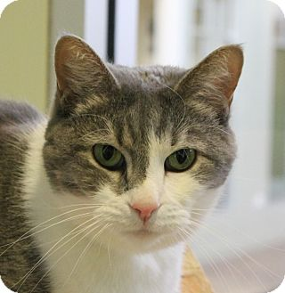 Domestic Shorthair Cat for adoption in Chicago, Illinois - Frida