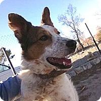 Adopt A Pet :: Bella - Monrovia, CA