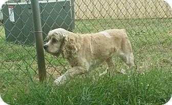 Cocker Spaniel Mix Dog for adoption in Glenburn, Maine - Jessie