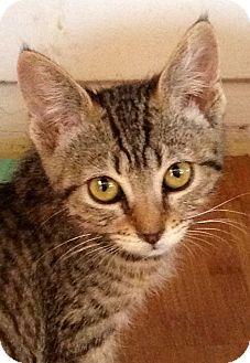 Domestic Shorthair Kitten for adoption in Riverside, California - Katniss