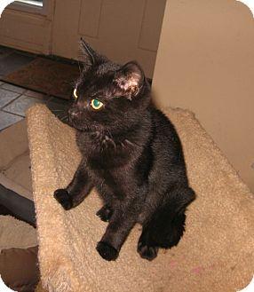 Domestic Shorthair Kitten for adoption in Colmar, Pennsylvania - Obi
